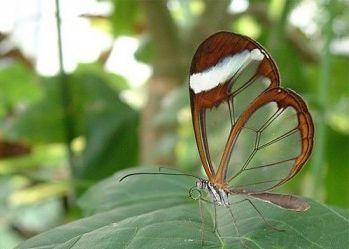 Прозрачные бабочки
