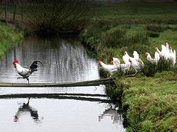 Почему курицы перешли дорогу?
