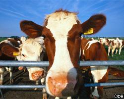 Чемпионат по метанию коровьих лепешек