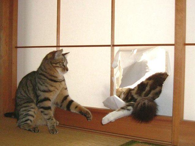 бойцовые коты фото
