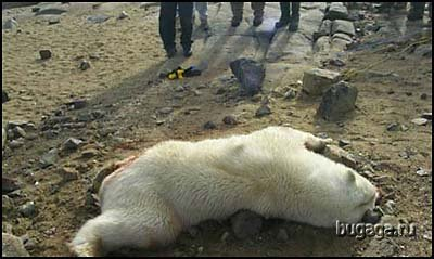 Белые медведи нападают на людей. Шокирующие фото!