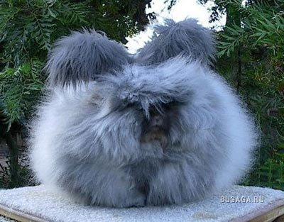 Чудо природы. Ангорские кролики.
