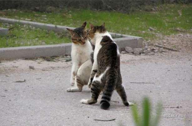 Коты драки фото