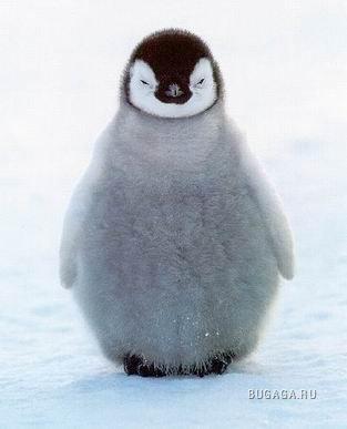 Пост, посвященный пингвинам:-)