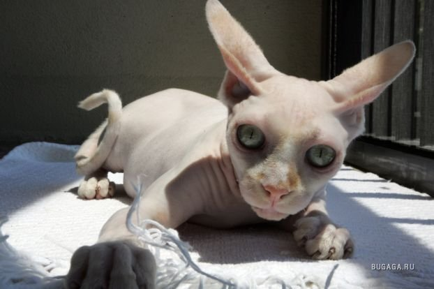http://www.bugaga.ru/uploads/posts/1174484219_02_uglycats_35813.jpg