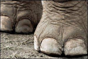 Слонопотамы