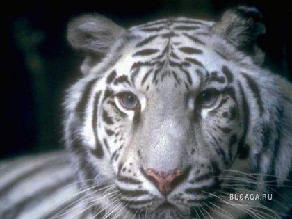 Тигры-величественность и грация