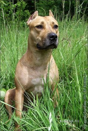 Бойцовые породы собак