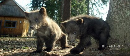 Медвежата - сироты
