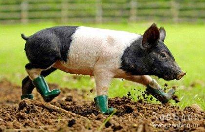 Свинью-грязефоба спасли сапоги