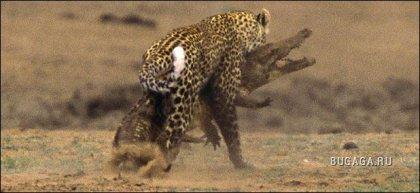 Уникальные фотодокументы: Леопард vs Крокодил