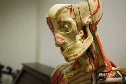 Анатомический Театр в Западных Медицинских Музеях