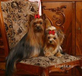 карманные собачки :)