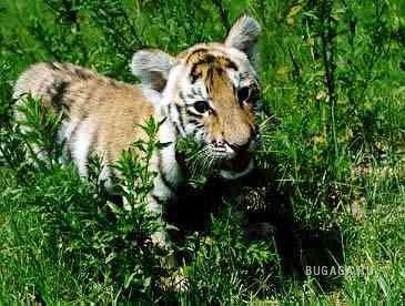 Тигрята!!!