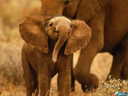 Большие и безобидные - слоны