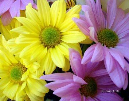 Хризантемы - осенние цветы