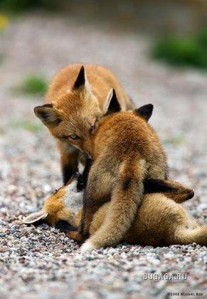 Лисички!!..