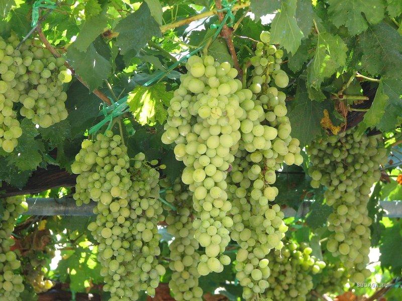 Мне привозили виноград с приморья.  Вы не поверите, но лист винограда в первые годы был в окружности до 70 см...