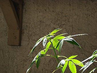 Вопрос легализации марихуаны рассмотрят в ООН