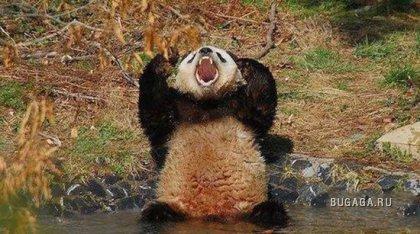 Злая панда атакует!
