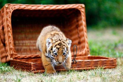 Первая фотосессия сибирского тигра