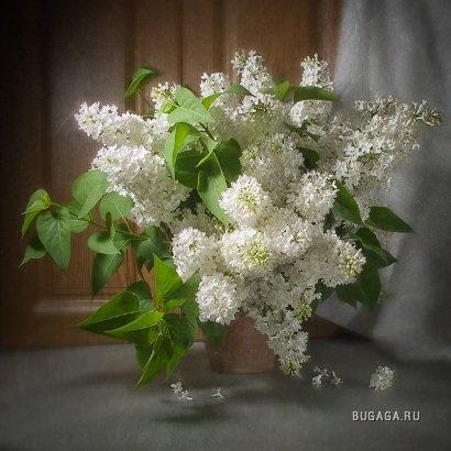 Весна=Сирень!!