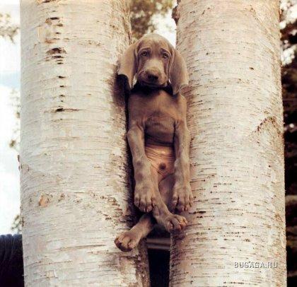 Собачки фотографа William Wegman