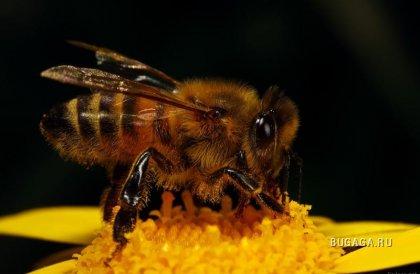 МАКРО. Пчелы