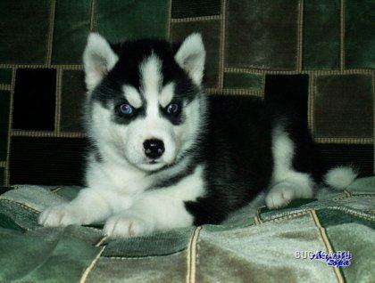 Фотографии Куплю черно-белого щенка хаски.