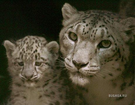 В апреле - июне родится у самок ирбисов от двух до пяти детенышей.  Они первые дни копошатся, прижавшись друг к другу...