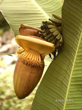 Бананоинфа