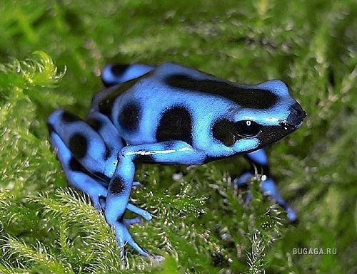 http://www.bugaga.ru/uploads/posts/2009-06/1244901513_05-poison-frog.jpg