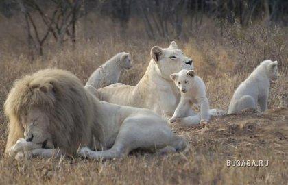 Редкие Белые Львы в Южной Африке