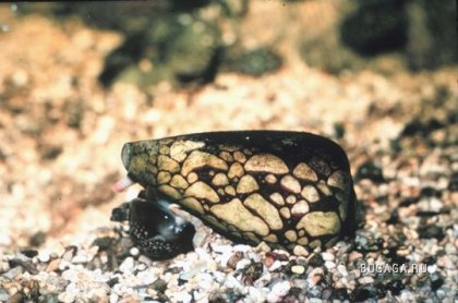 http://images.bugaga.ru/posts/2009-06/thumbs/1244901549_09-marbled-cone-snail.jpg
