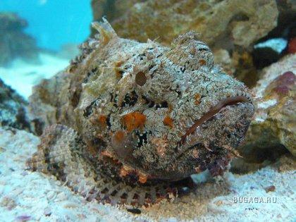 В Красном море есть небольшая плоская рыбка с довольно