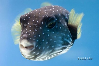 http://images.bugaga.ru/posts/2009-06/thumbs/1244901588_08-puffer-fish.jpg