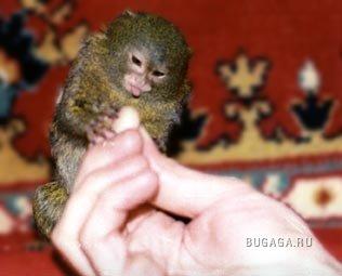Самые маленькие обезьянки