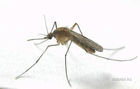 """Ученые  """"зовут """" бесплодных комаров-самцов на войну с малярией."""