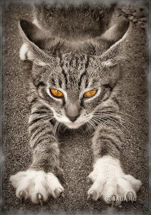 кошка британская вислоухая. британские котята фото. кошки в истории...