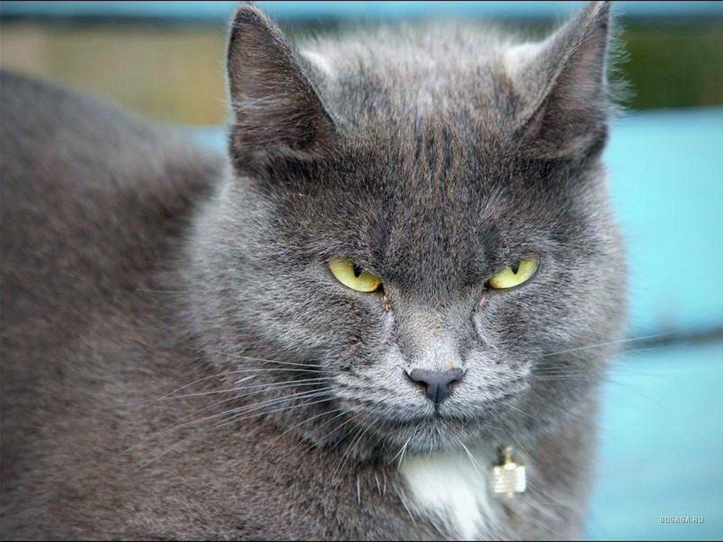 фото серые большие коты компаний