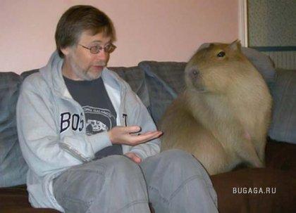 а вы хотите себе морскую свинку?