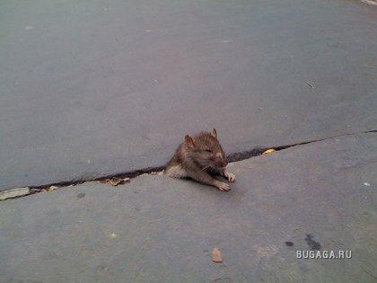 Фотожаба: застрявшая крыса