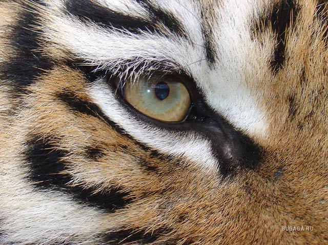 helm tigers eye repeat - HD2592×1944