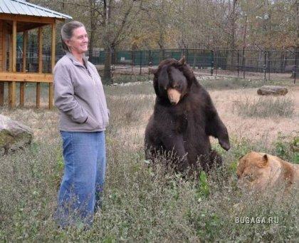 Необычная дружба: медведь, лев и тигр