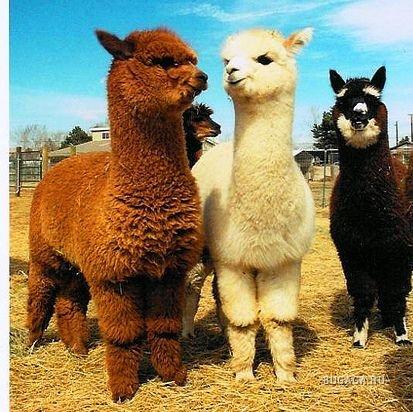 Альпака - чудо из Перу.  Животные, птицы - Другие животные - Продам/куплю.