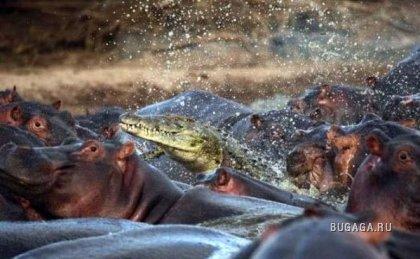 История одного дерзкого крокодила в фотографиях :)