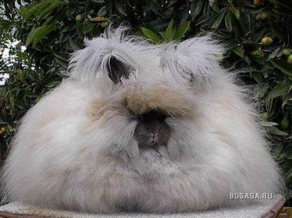 Ангорские кролики: живые подушки спрятали ушки.