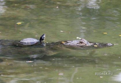 Необычная дружба: черепаха и аллигатор