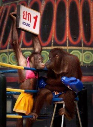 Орангутанги-боксёры