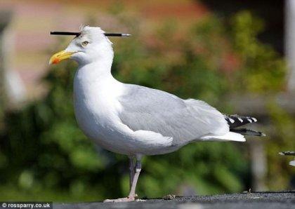 Чудо-чайка